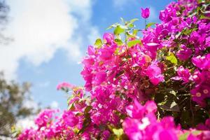 blühende rosa Blumen gegen blauen Himmel