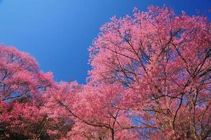 Frühlingskirschblüten mit blauem Himmelhintergrund