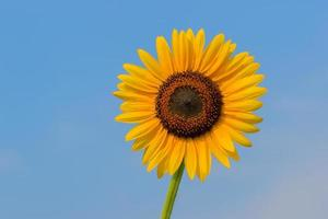 einzelne Sonnenblume und blauer Himmel auf Hintergrund foto