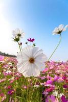weiße Kosmosblume auf Feld mit Himmel