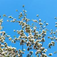 Zweige des blühenden Apfelbaums mit blauem Himmel