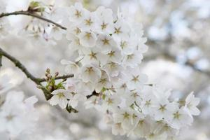 rosa Kirschblüte (Prunus serrulata) gegen blauen Himmel