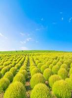 Feld von grünem Kochia und blauem Himmel foto