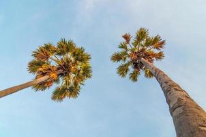 Zuckerpalme gegen einen blauen Himmelhintergrund. foto