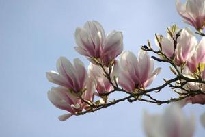 Blüten des Magnolienbaums gegen einen blauen Himmel
