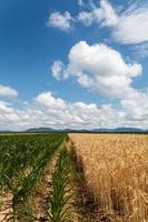 Feld von Mais und Getreide unter bewölktem Himmel