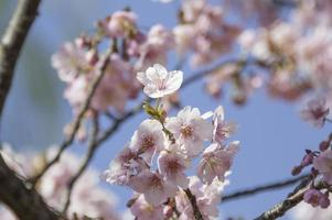 Schließen Sie nah Kirschblüten gegen den Himmel