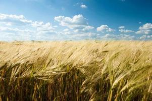 Sommerlandschaft des Weizenfeldes und des blauen Himmels