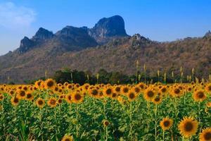 Feld der blühenden Sonnenblumen auf blauem Himmelhintergrund