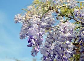 Glyzinien blühen gegen den Himmel