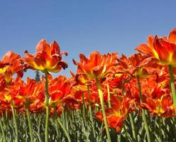 rote Tulpen auf blauem Himmel