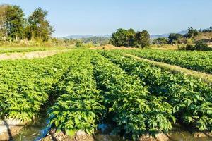 Kartoffelfeld auf Landschaft des blauen Himmels. foto