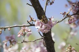 Schließen Sie nah Kirschblüten gegen den Himmel foto