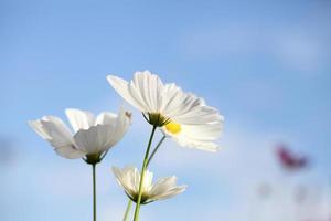 weiße Kosmosblume im blauen Himmel