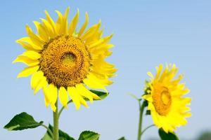 Nahaufnahme der Sonnenblume mit Himmelhintergrund