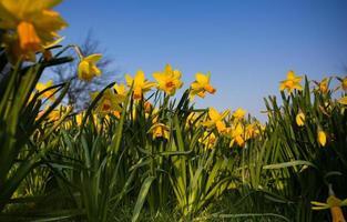 Narzissenblume oder Narzissenstrauß mit einem blauen Himmel foto