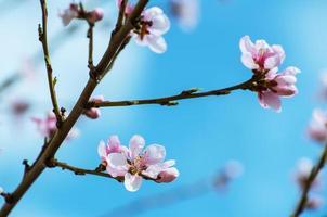 Kirschblüten - rosa Sakura blüht auf blauem Himmelhintergrund