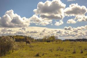 grasende Kühe auf der Weide
