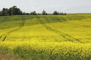 Rapsfeld. gelbe Blumen. die helle Sonne. blauer Himmel