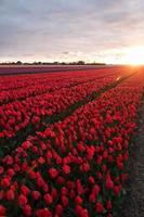 Tulpenfeld mit bewölktem Himmel in hdr