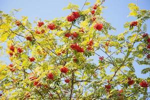 Eberesche mit roten Beeren gegen blauen Himmel