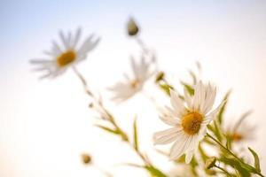 Makrofoto von großen weißen Gänseblümchen über strahlend blauem Himmel