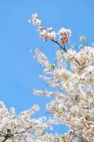weiße und rosa Kirschblüten vor blauem Himmel