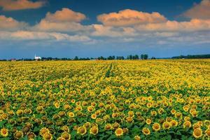 atemberaubendes Feld von Sonnenblumen und bewölktem Himmel, Buzias, Rumänien, Europa