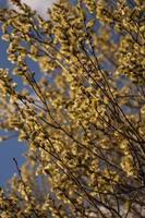 Blühende Kätzchen der Weiden- oder Korbweidenmuschi auf Hintergrund des blauen Himmels