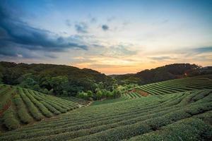 Teeplantagen-Tal am dramatischen rosa Sonnenuntergangshimmel in Taiwan