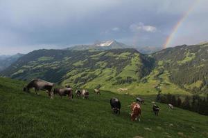 grasende Kühe im Berner Oberland foto