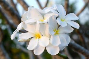 Plumeria-Blüte