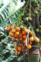 Bündel Betelnuss auf einer Palme im Garten foto