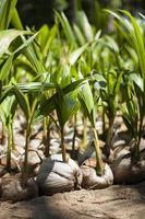 Haufen sprießender Kokosnüsse foto