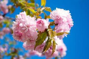 Sakura-Baum blüht im Frühjahr gegen einen blauen Himmel foto