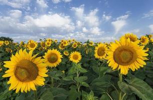 Sonnenblumen auf einem Hintergrund des blauen Himmels. Sommerfeld.