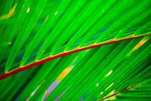 Palme, Cyrtostachys Renda Blume foto