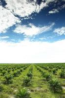 Palmölplantage foto