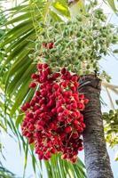 Bündel von Datteln auf dem Baum foto