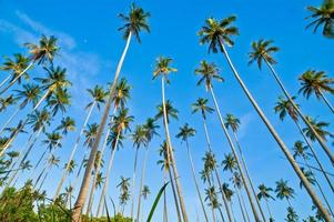 Kokosnussbäume foto