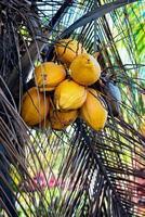 gelber Kokosnussbaum schließen oben mit Bündel von Kokosnüssen foto
