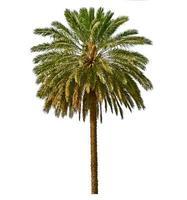 Palme lokalisiert auf weißem Hintergrund foto