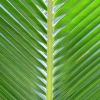 Kokospalmenblatt foto