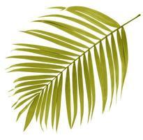 Blatt der Palme auf weißem Hintergrund foto