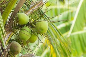 Kokosnussfrucht am Baum. foto