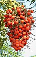 Palmenfrucht foto