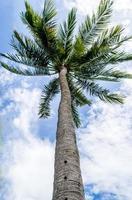 Kokosnussbaum