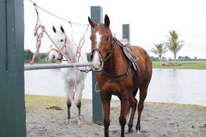 schöne Pferde foto