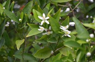 Biene sammelt Polin aus weißen, duftenden Orangenblüten