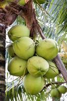 Bündel Kokosnüsse foto